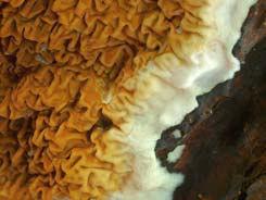 TERMISER Traitement, Solives attaquées par un polypore des Caves