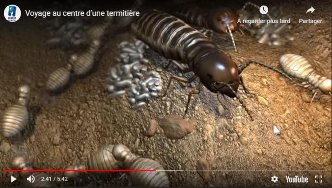 TERMISER Traitement voyage au centre d'une colonie de termites