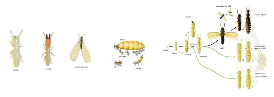 Description et cycle de reproduction des Termites